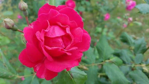 Základová fotografie zdarma na téma krásné květiny, růžová růže