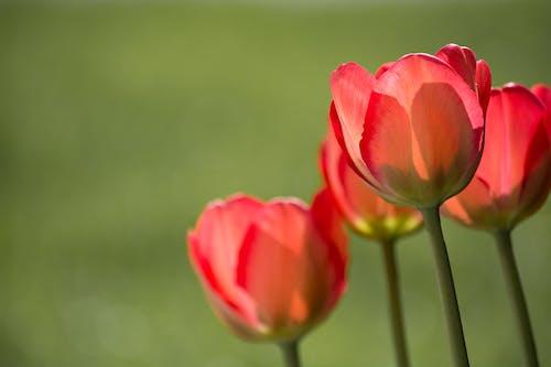 Immagine gratuita di bocciolo, fiori, flora, macro