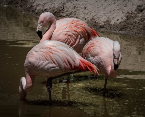 Imagine de stoc gratuită din animale, apă, fotografie de animale, păsări flamingo