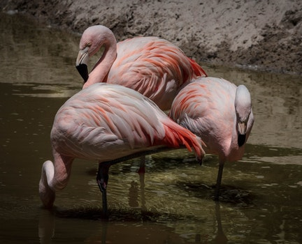 3 Flamingos Surrounded of Water during Daytime