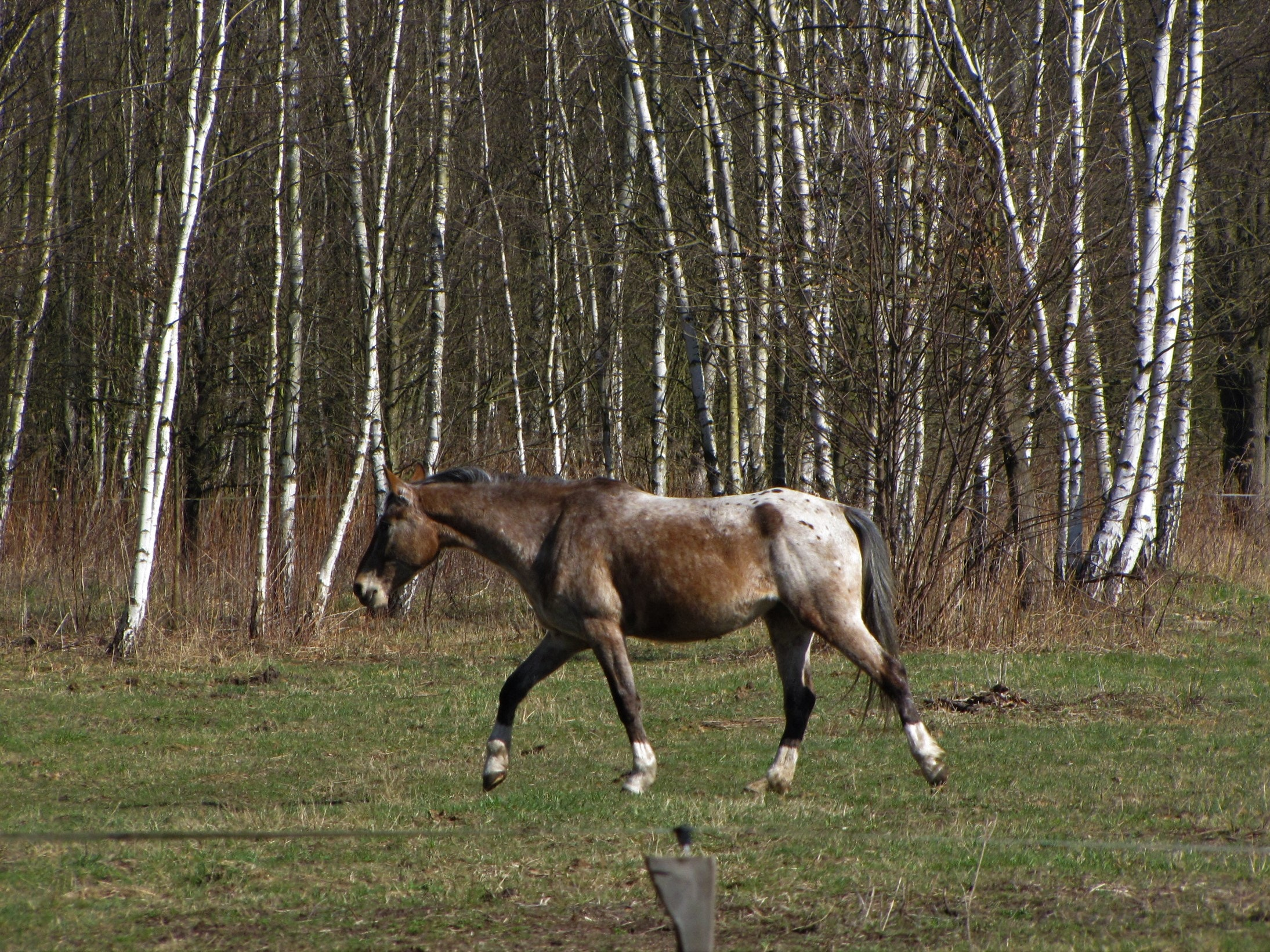Free Stock Photo Of Appaloosa Horse Spotted