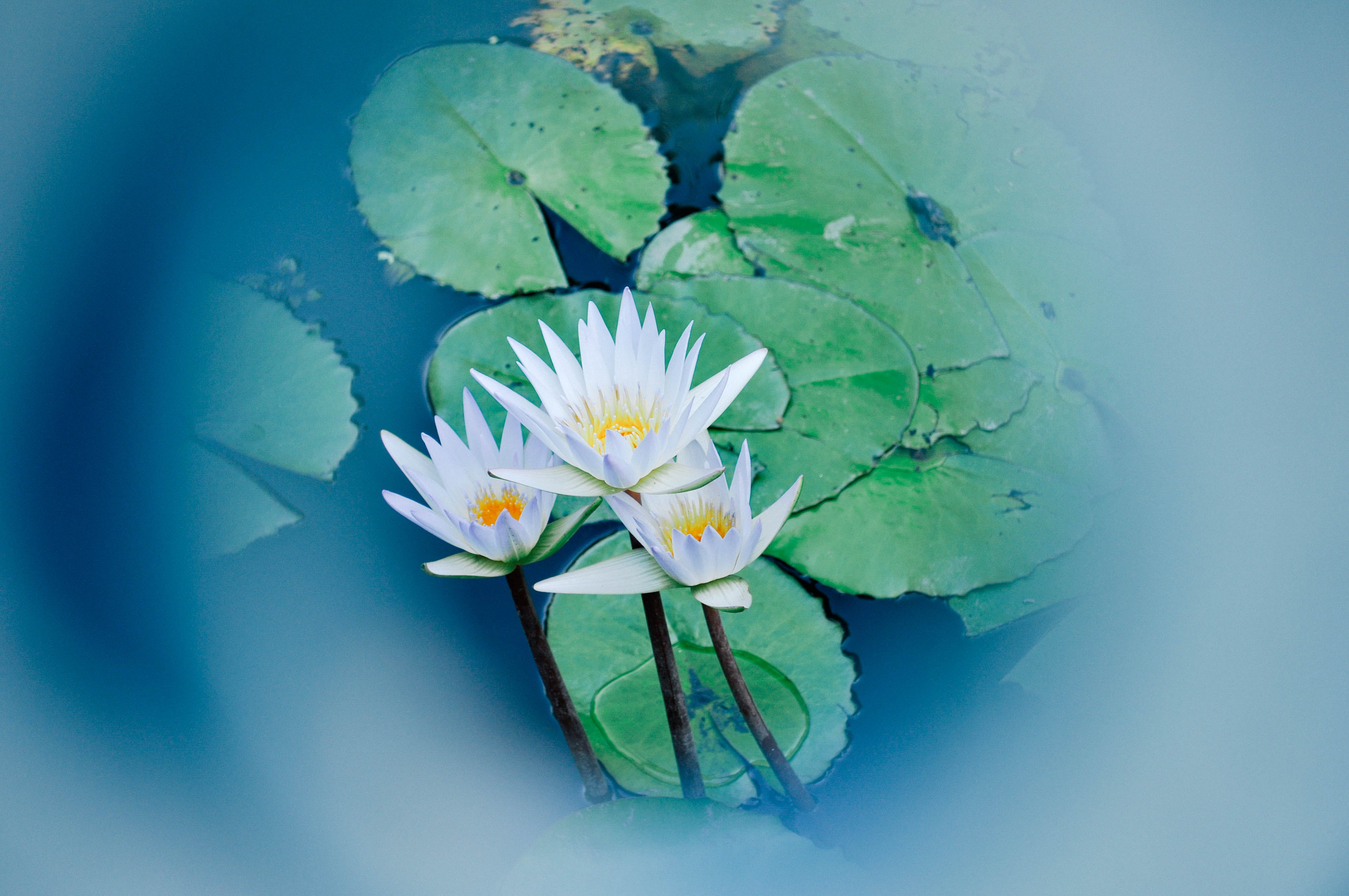 Free stock photo of flower, lotus, Water Lilies