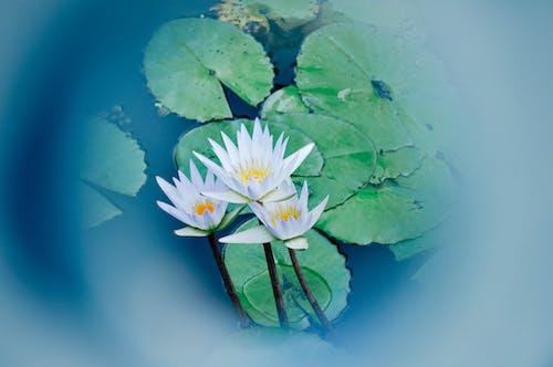 Darmowe zdjęcie z galerii z kwiat, lilie wodne, lotos