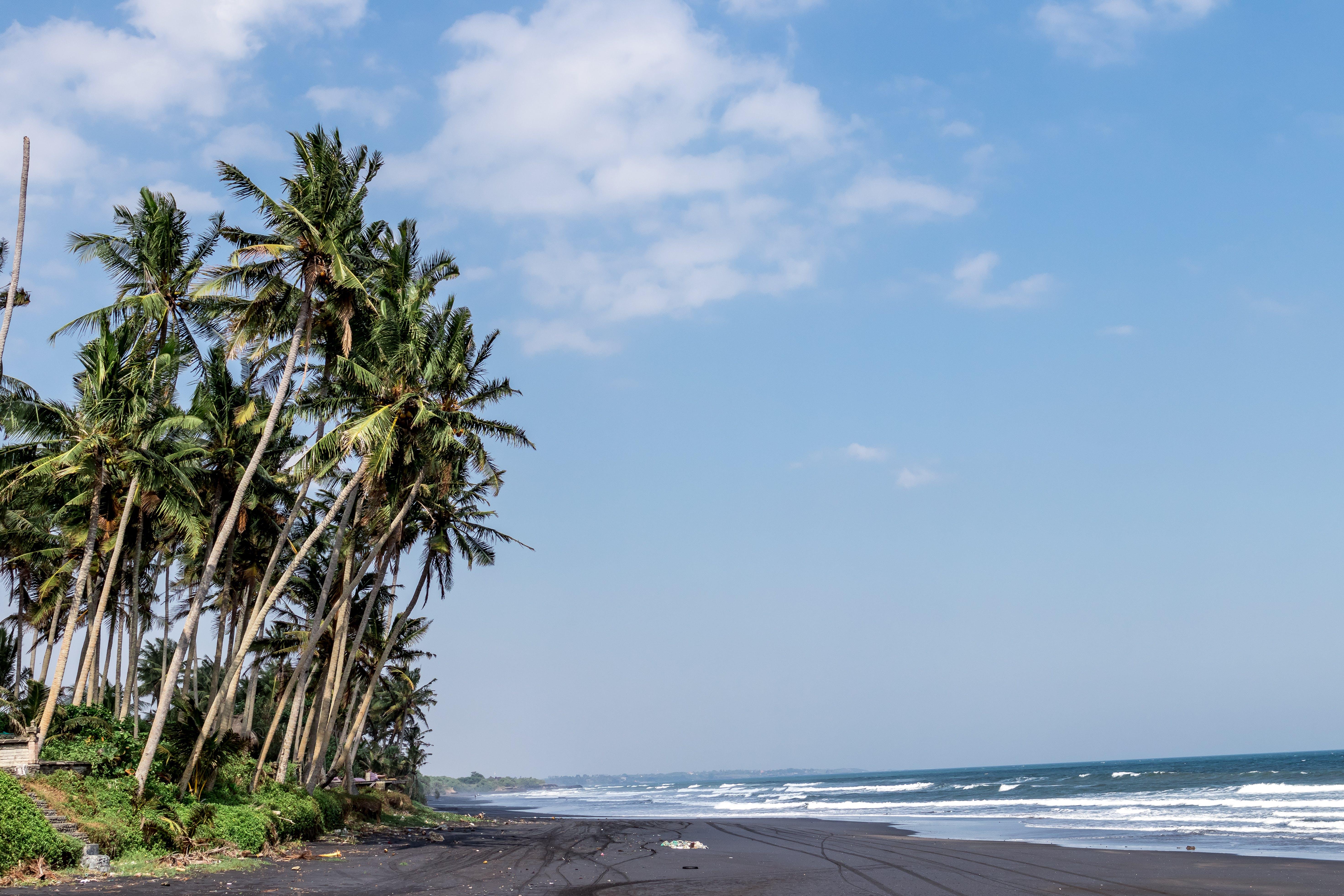 Green Coconut Trees Beside Body of Water