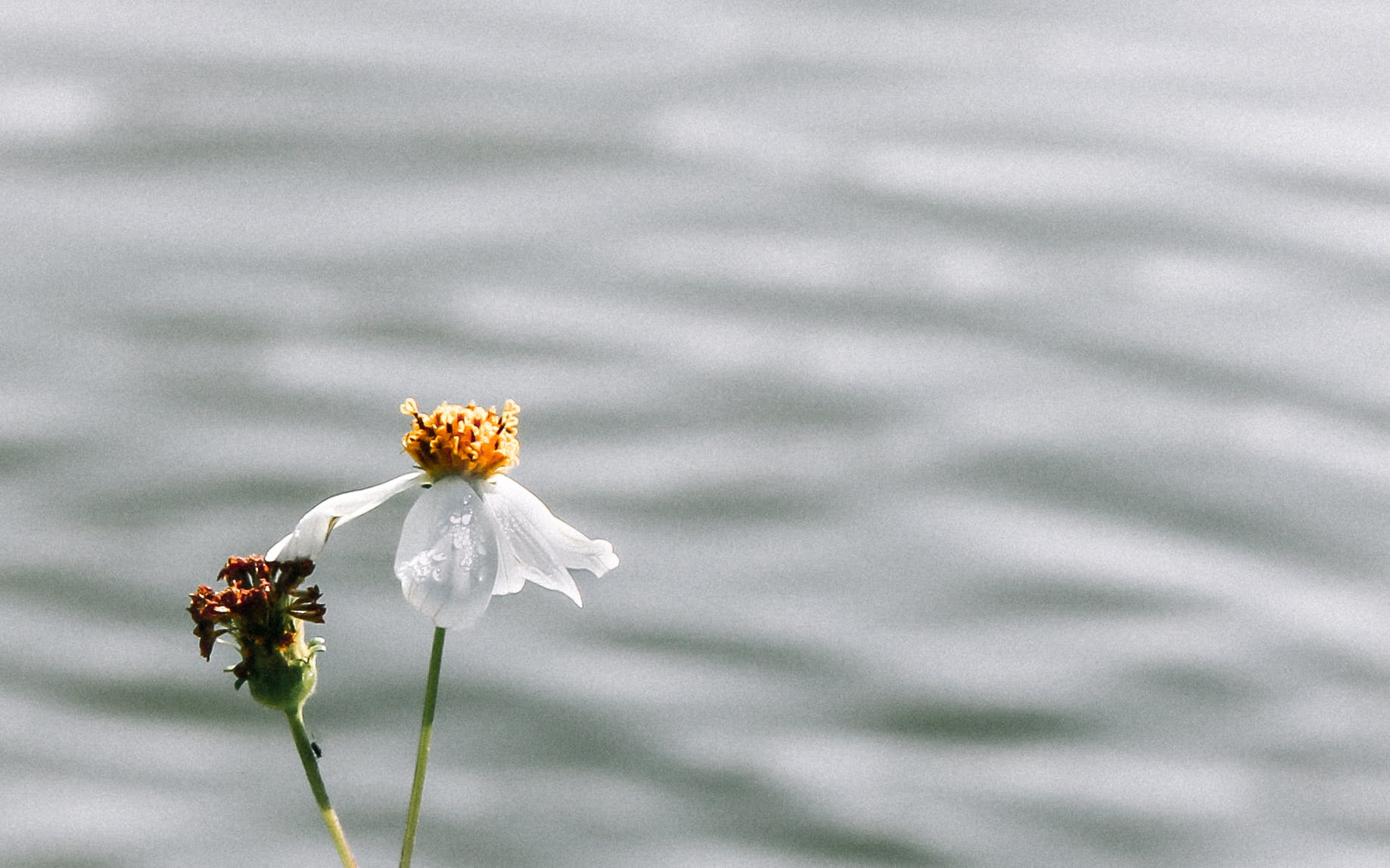 Free stock photo of beautiful flowers, daisy, flower, loneliness