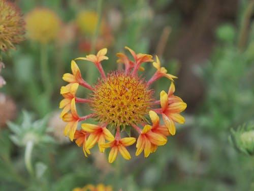 Бесплатное стоковое фото с апельсин, желтый, красивые цветы, флора