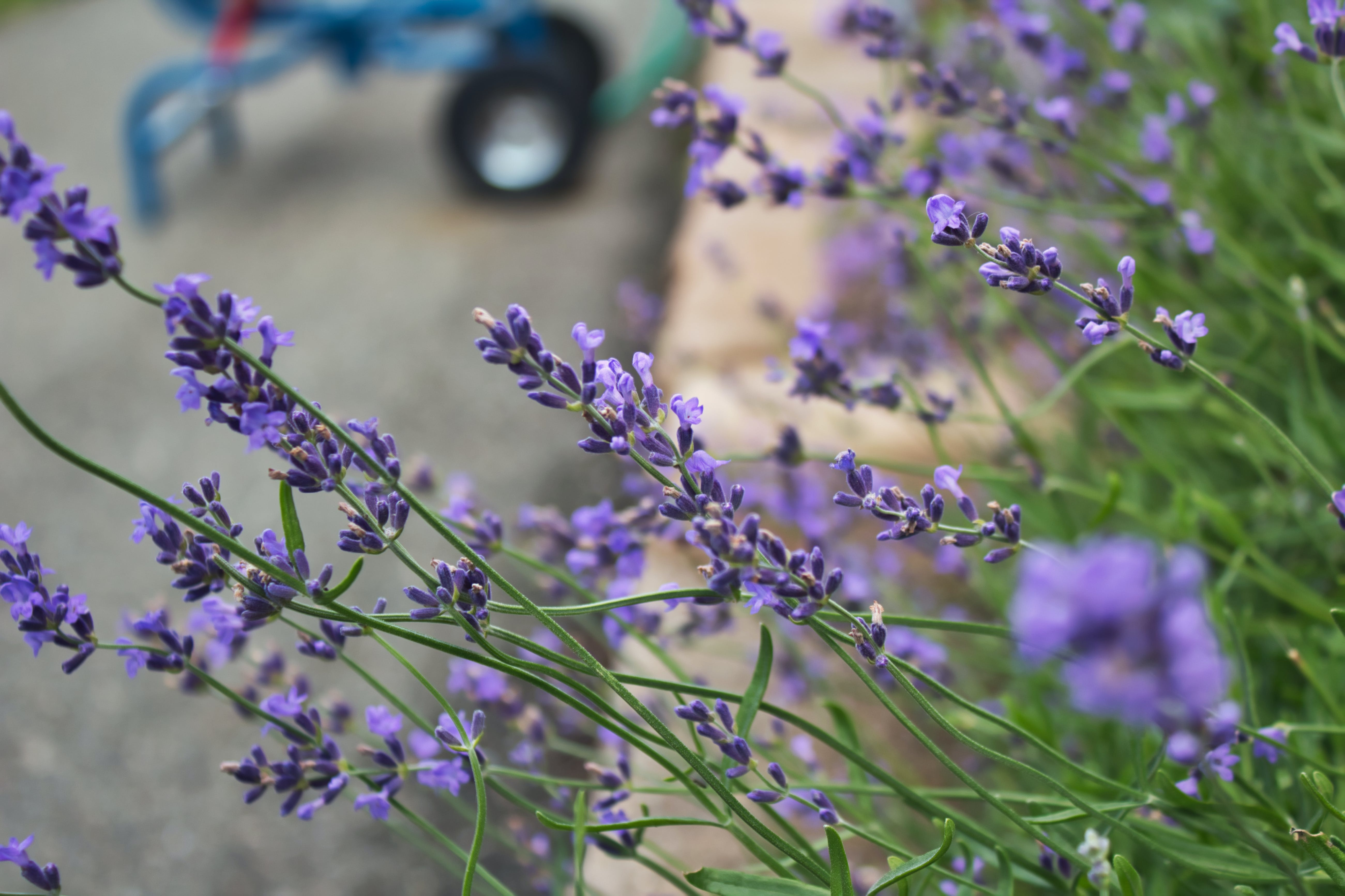 Free stock photo of purple, flower, green, selective focus