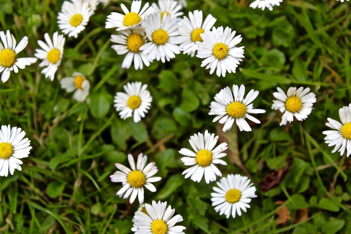 flor, margarida, margarida branca