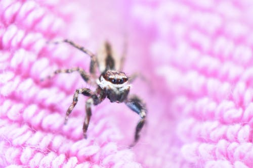 Free stock photo of jumping spider, pink background