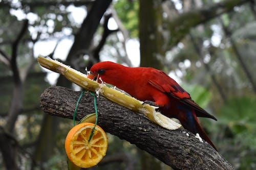 Бесплатное стоковое фото с красная птица, лес, попугай, природа