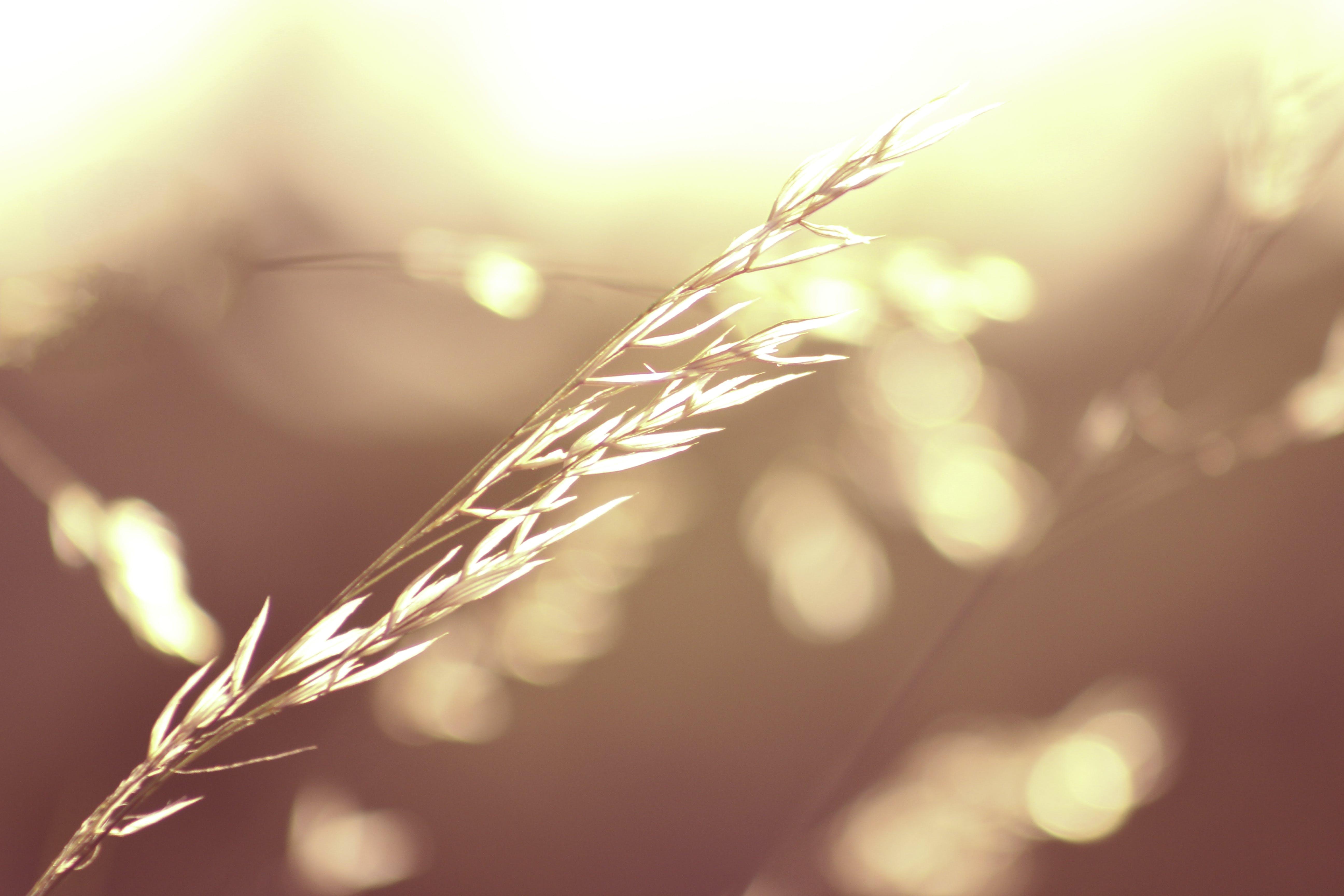 Gratis stockfoto met tarwe, tarwegras