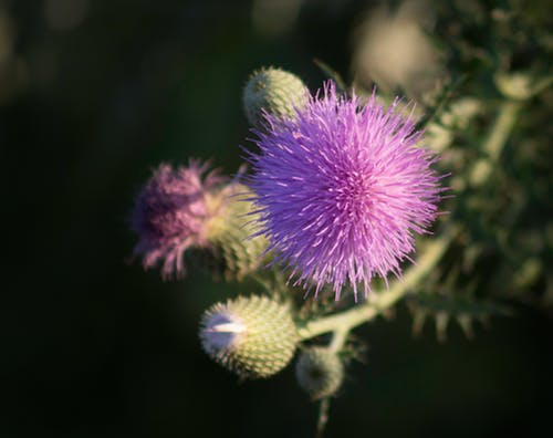 Free stock photo of purple flower, thistle, thistle flower, wildflower