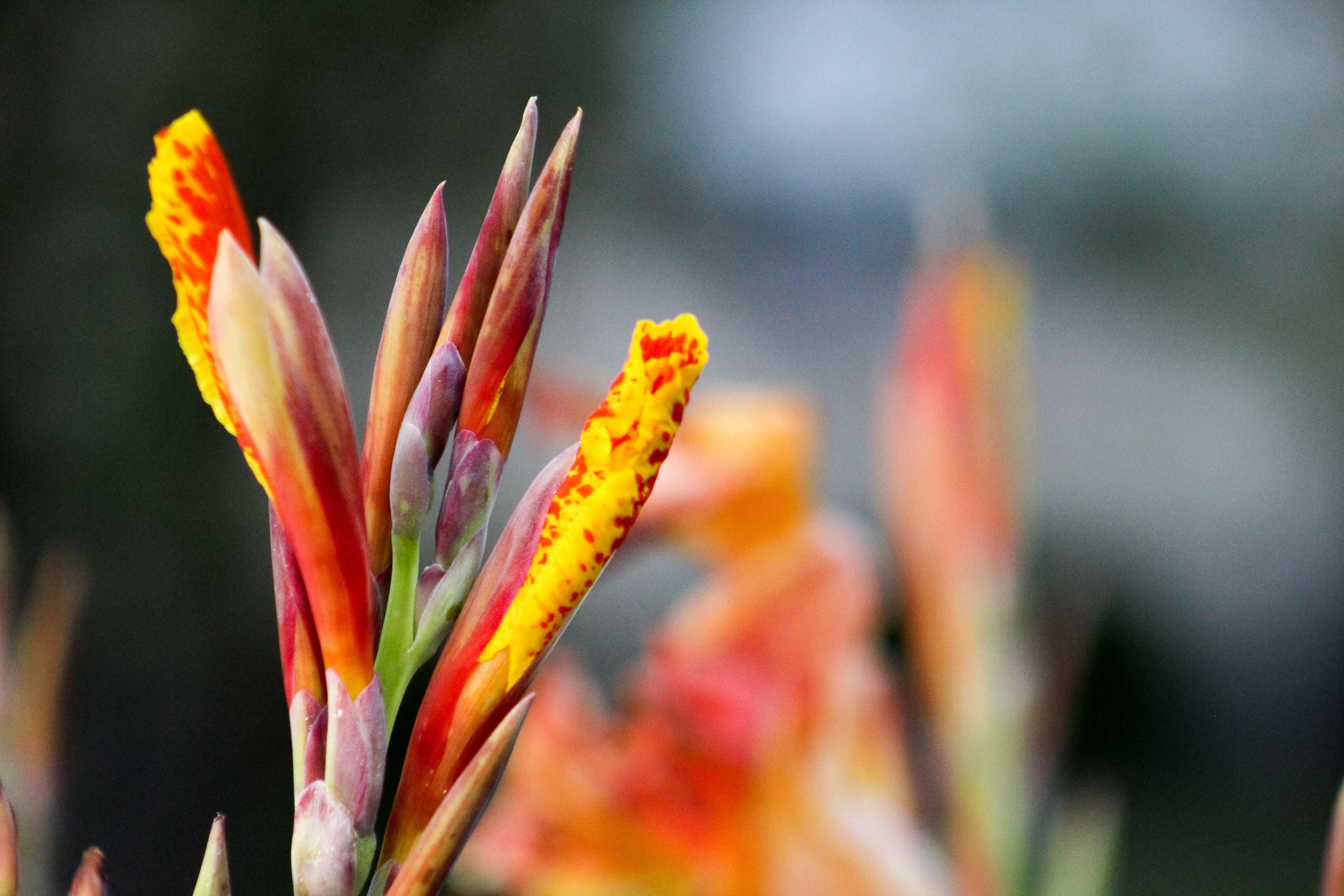 Gratis stockfoto met canna, oranje en geel, oranje en gele bloem