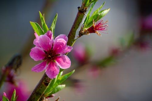 Foto d'estoc gratuïta de cirera, detall, flor, florir