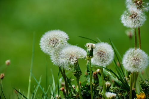 Dandelion Beside Green Grass