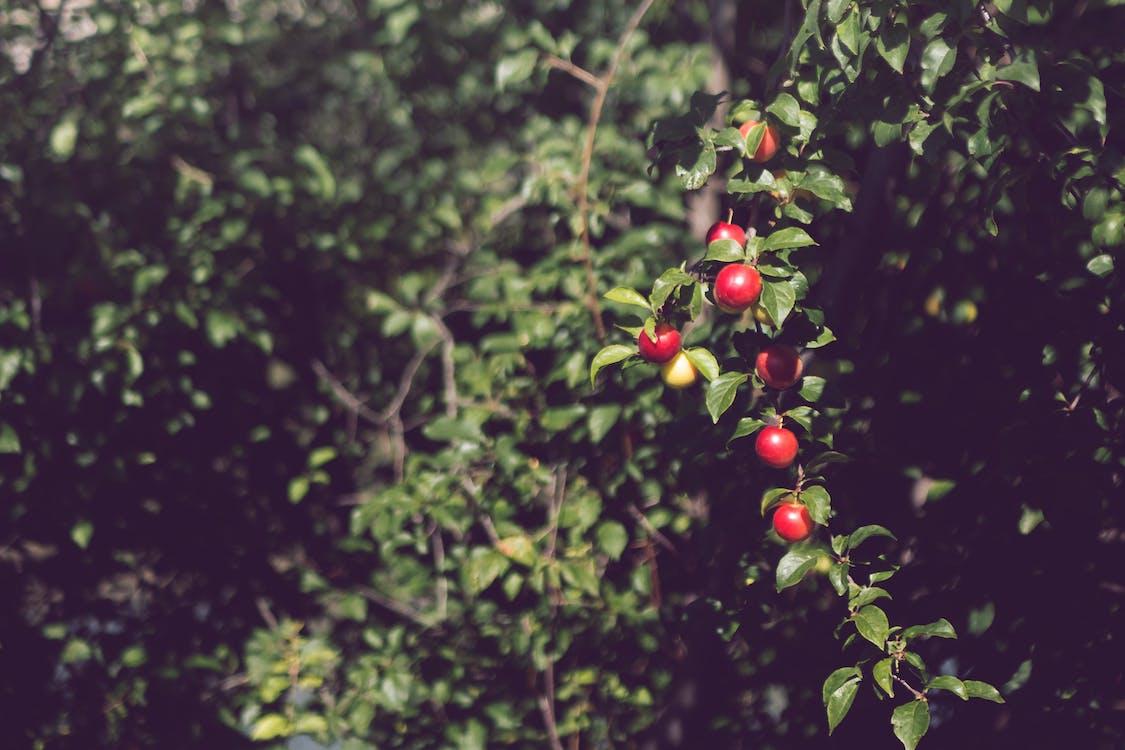 jídlo, ovoce, strom
