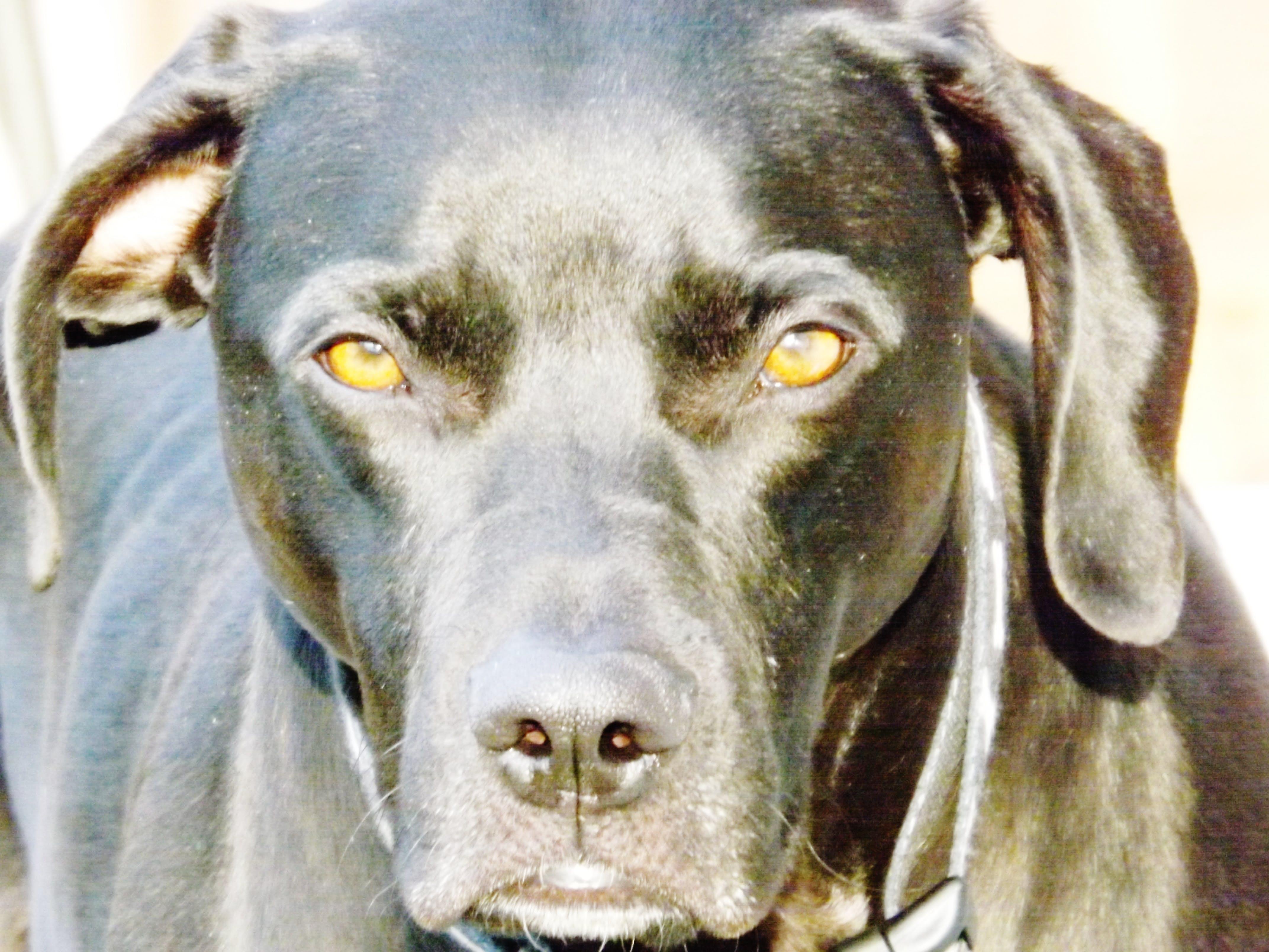 Free stock photo of black dog, brown eyes, dog, eyes