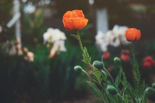 Darmowe zdjęcie z galerii z czerwony, kwiat, mak, piękno