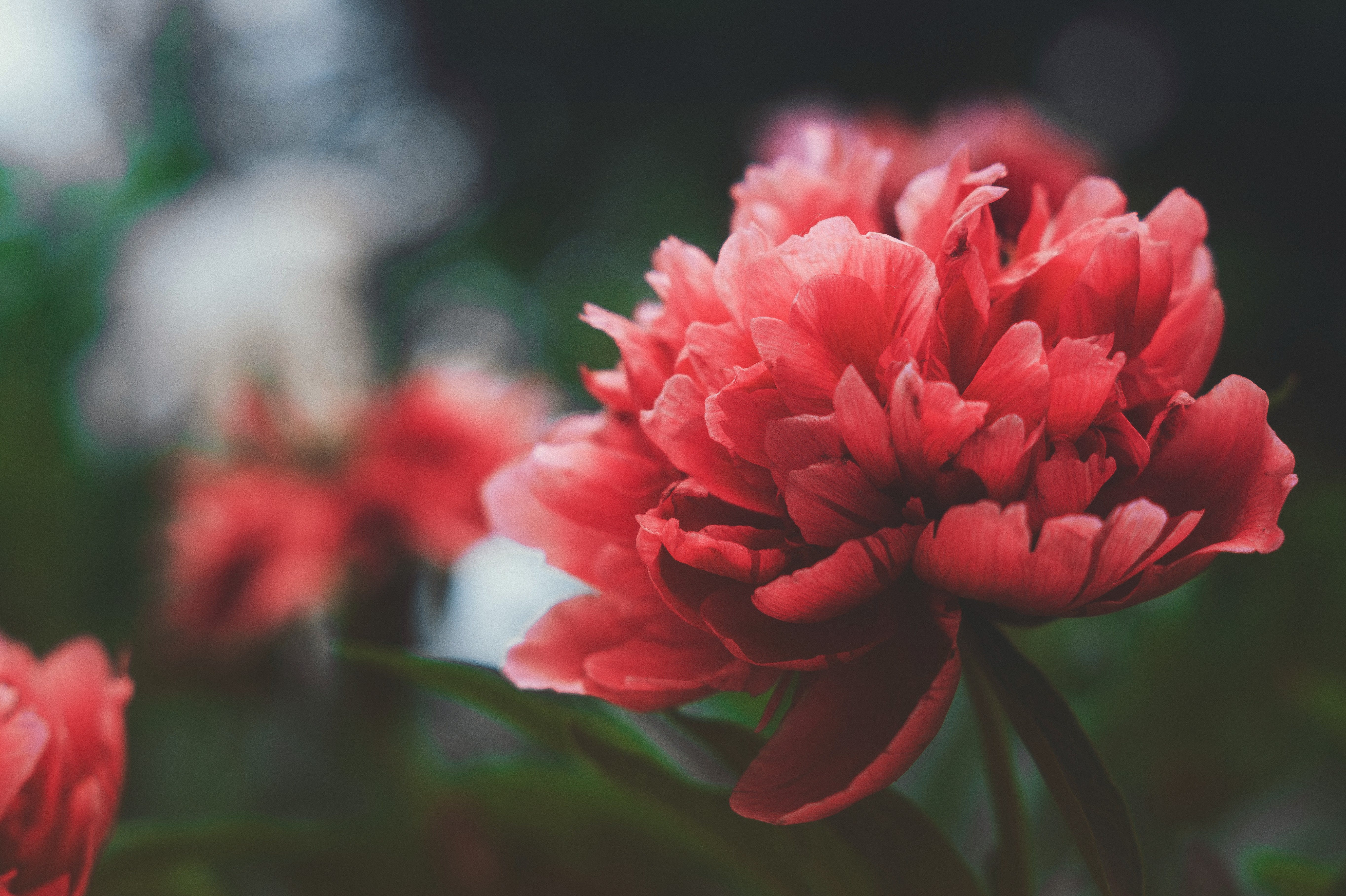 Free stock photo of beauty, flower, plants, red