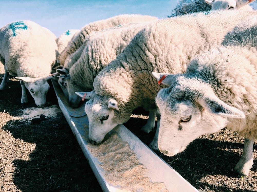 ovejas alimentándose con animal feed con óxido de zinc