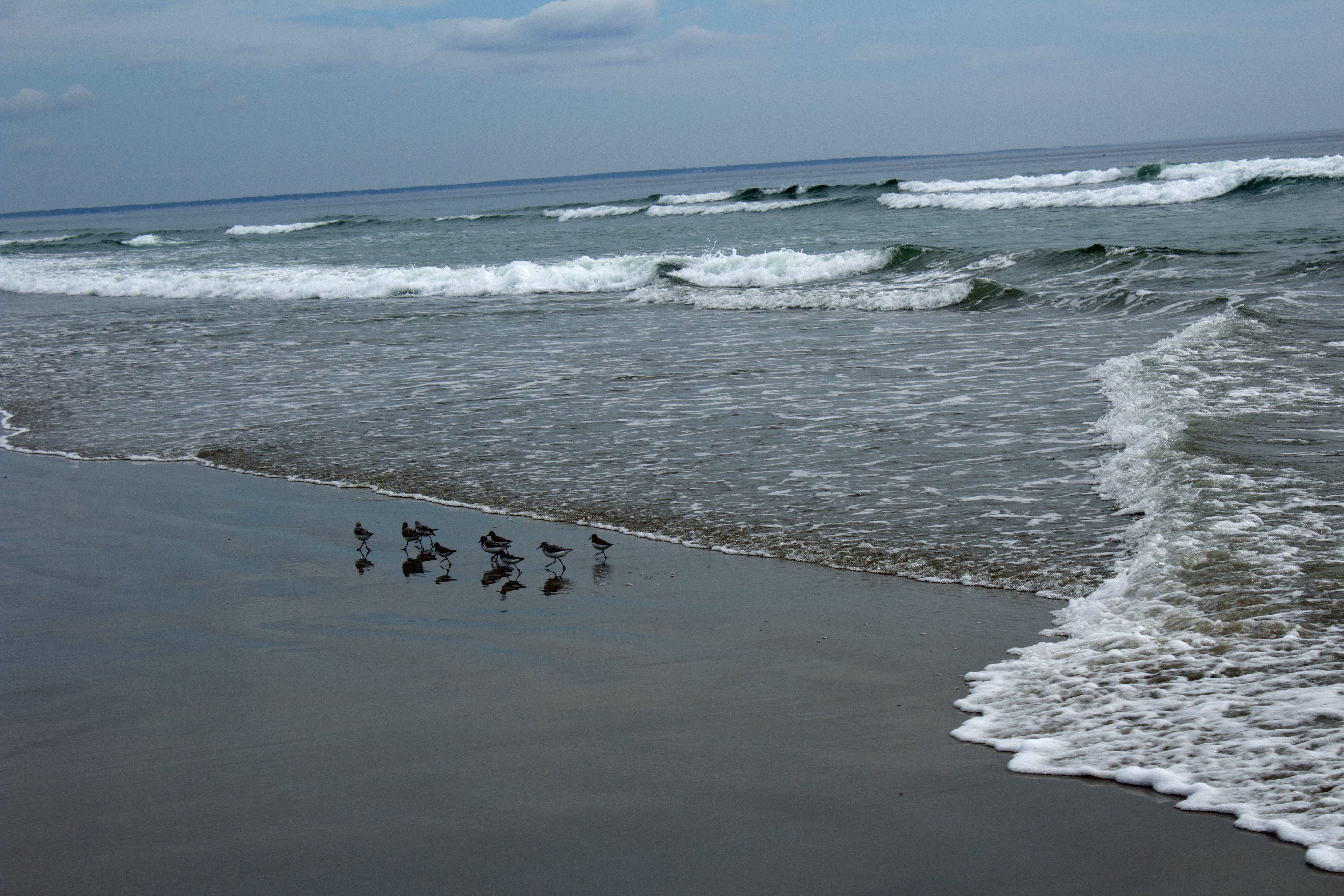 Free stock photo of beach, birds, maine, pipers