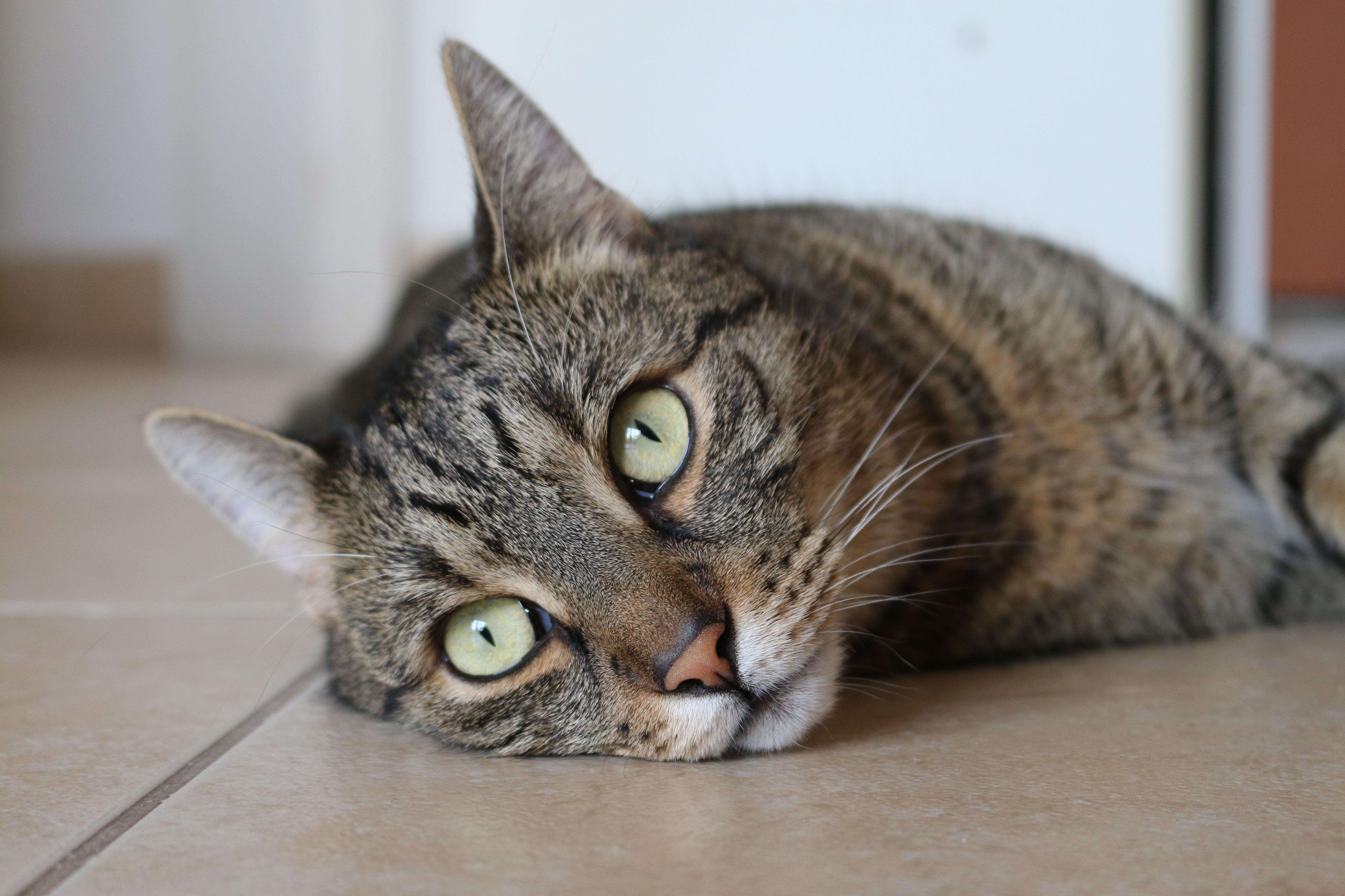 Free stock photo of animal, cat, cute