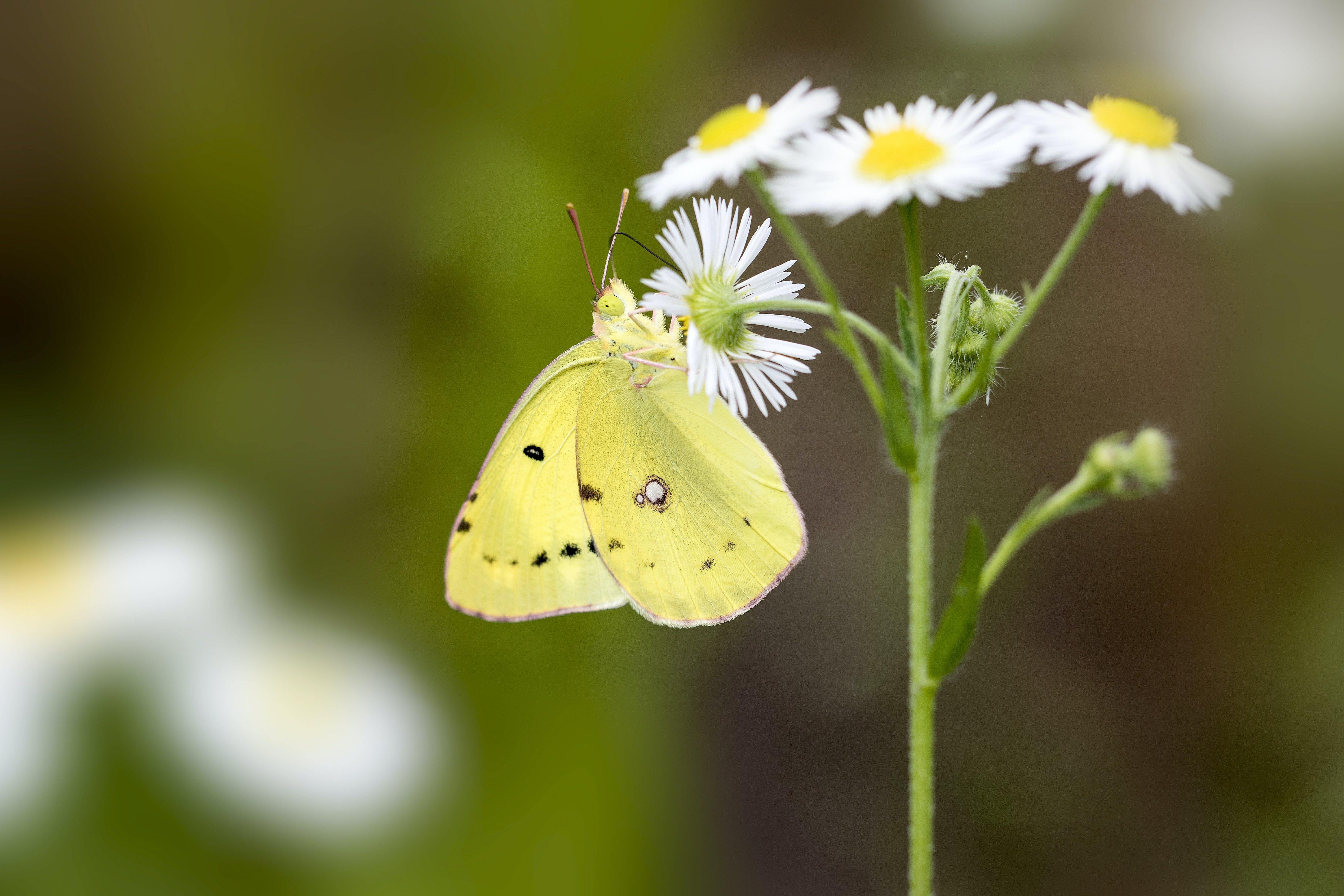Free stock photo of butterfly on a flower