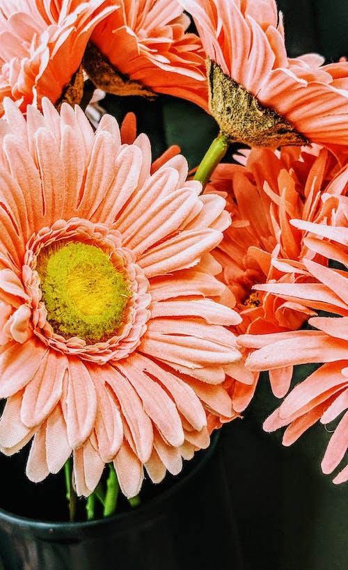 Kostnadsfri bild av blommor, daisy, korall, närbild