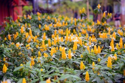 Gratis arkivbilde med amarelo, blomster, gul