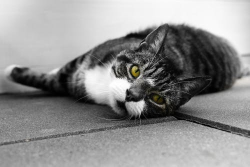 Grayscale Photo of Cat