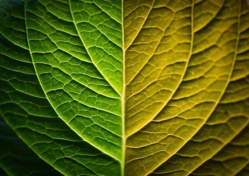 Бесплатное стоковое фото с вена, зеленый, лист, максросъемка