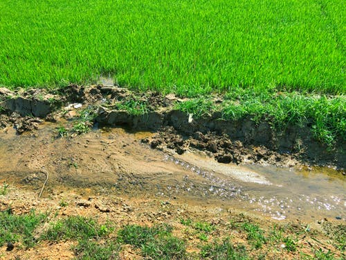 Základová fotografie zdarma na téma rýže, tráva