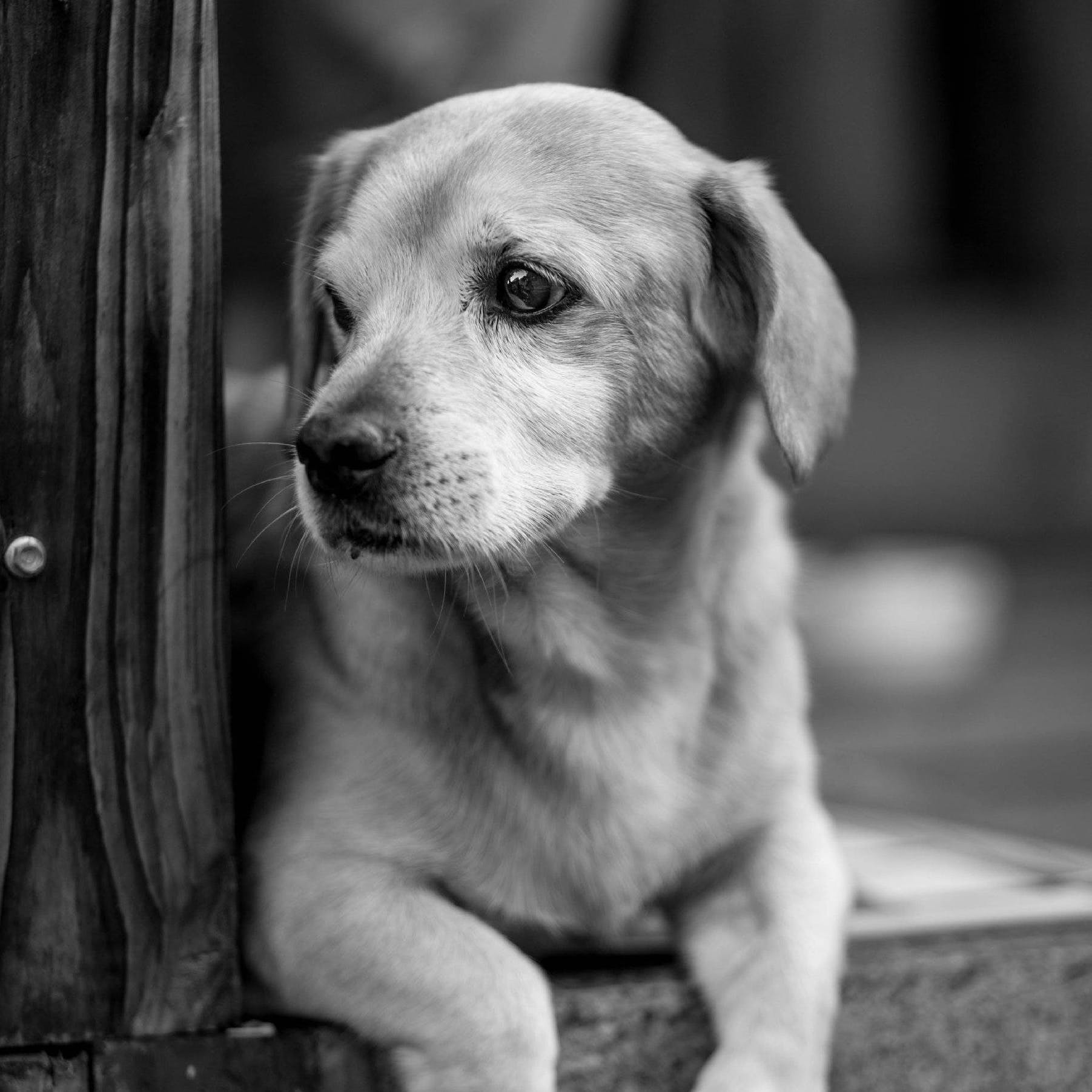 Grayscale Photography of Short-coated Puppy
