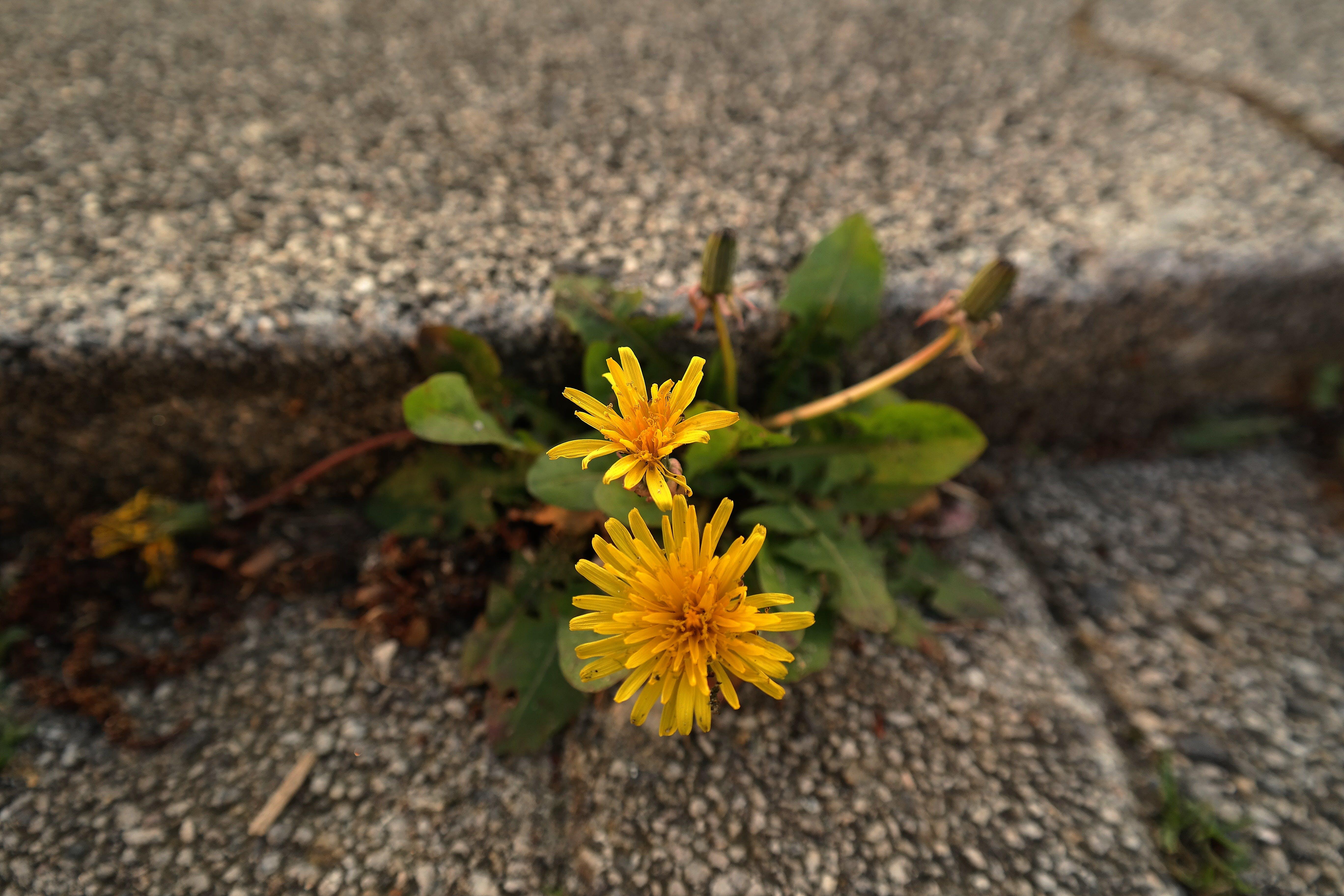 Selective Focus Photography of Yellow Dandelion Flowers