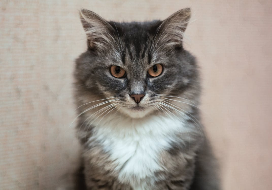 katt, pels, vakre øyne