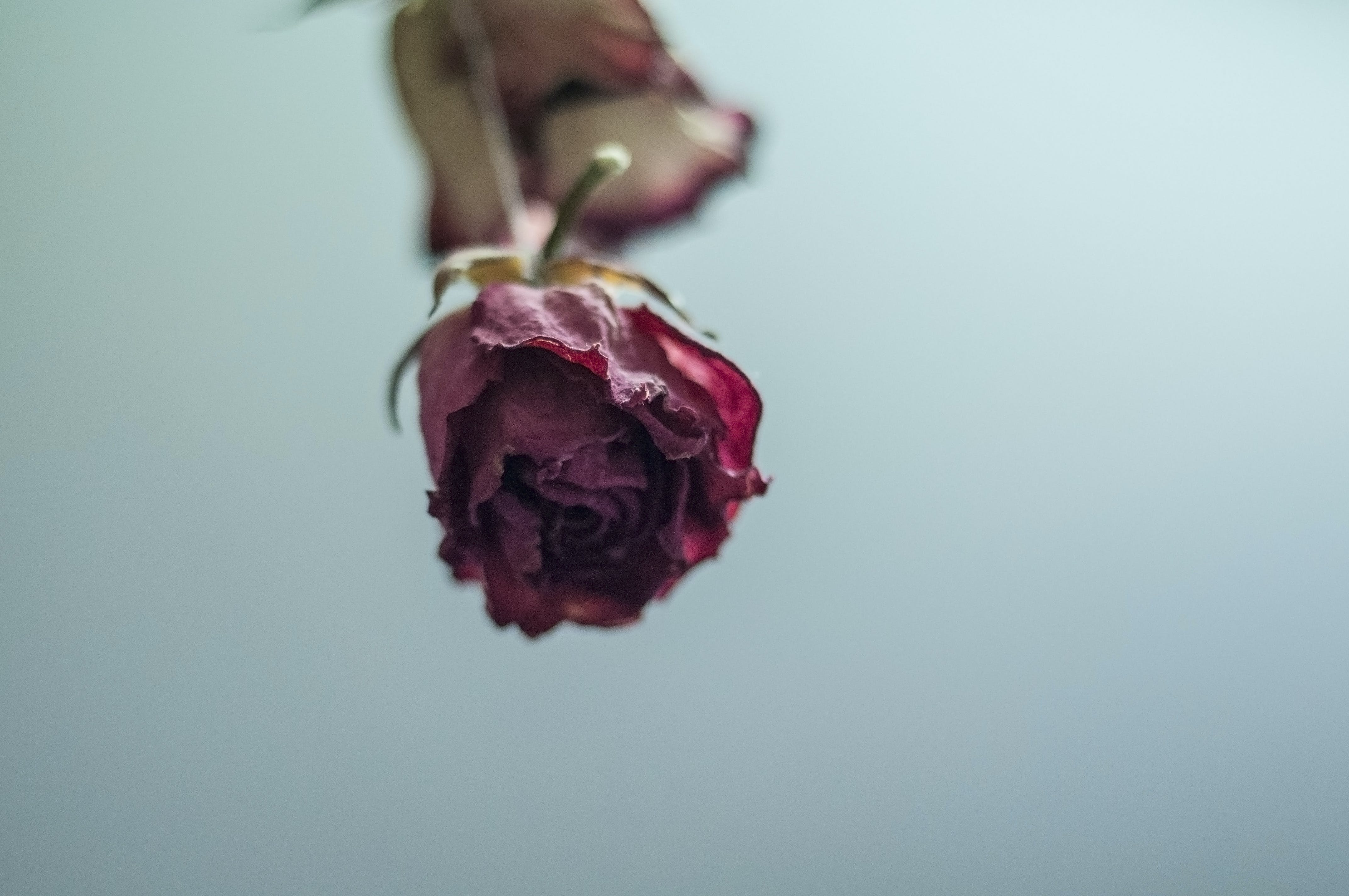 Free stock photo of flowers, red roses, roses