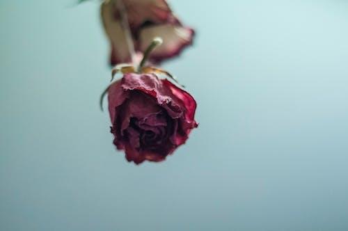 玫瑰, 紅玫瑰, 花 的 免费素材照片