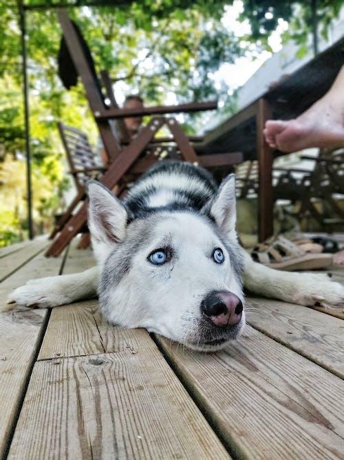 Ilmainen kuvapankkikuva tunnisteilla eläin, husky, koira, siniset silmät
