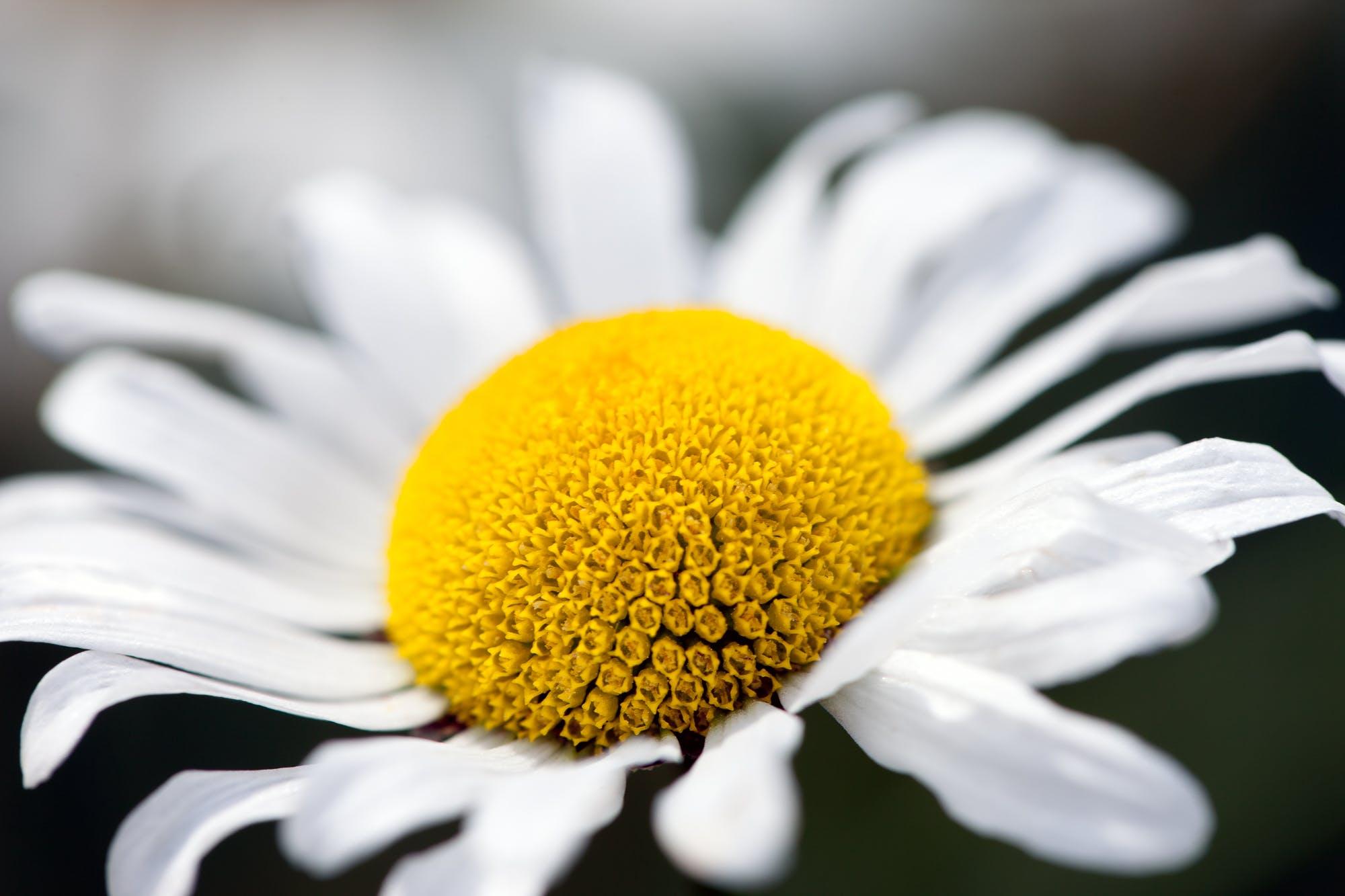 Free stock photo of daisy, flower, macro
