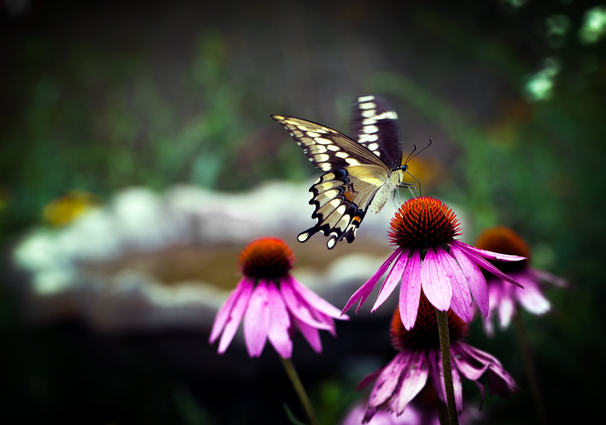 Free stock photo of butterfly, flowers, yellow