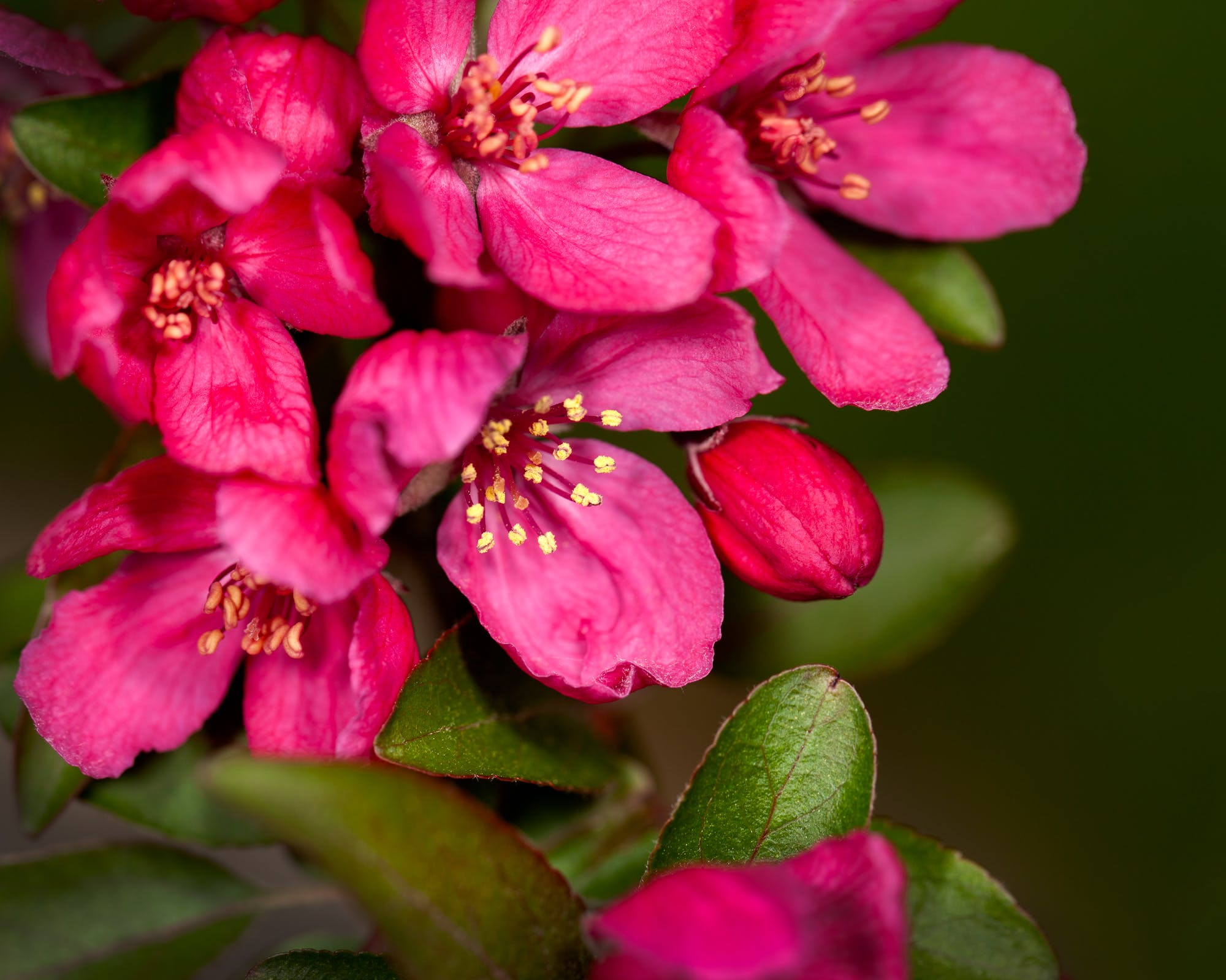 Free stock photo of apple blossom, flowers