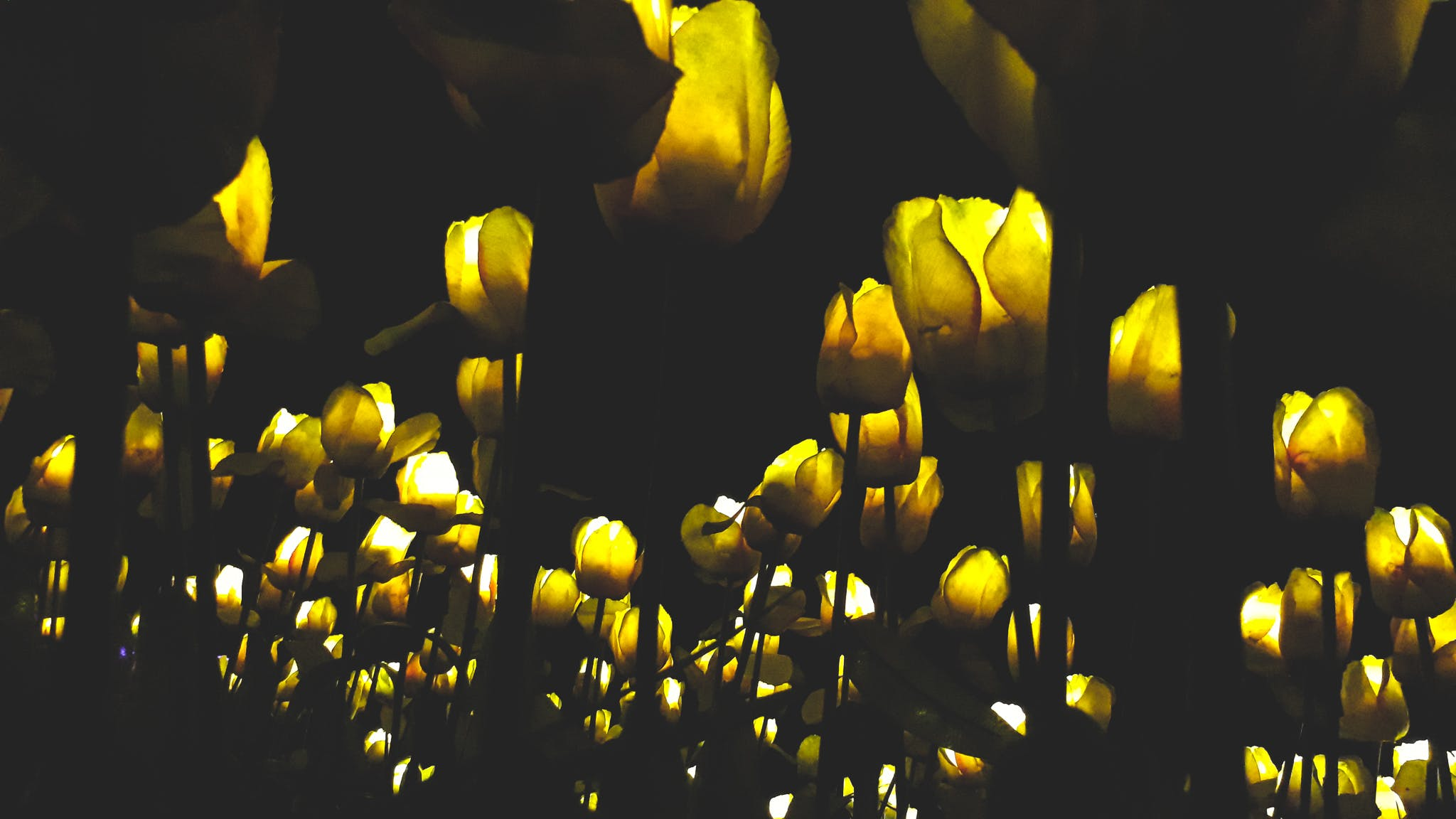 Free stock photo of artificial flowers, led lights, night, tulips