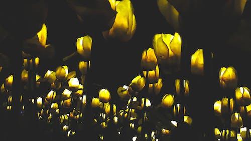 Foto profissional grátis de flores artificiais, lâmpadas LED, noite, tulipas