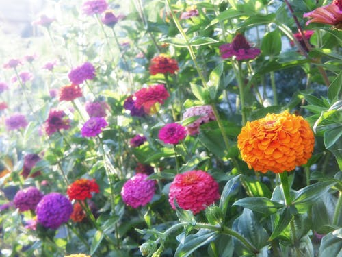 Бесплатное стоковое фото с апельсин, красочный, пурпурный, цветы