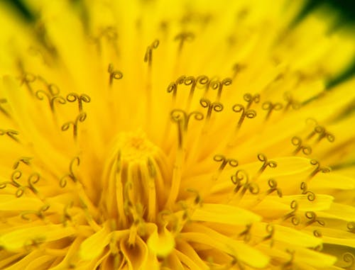 Бесплатное стоковое фото с желтый, максросъемка, одуванчик, цветок