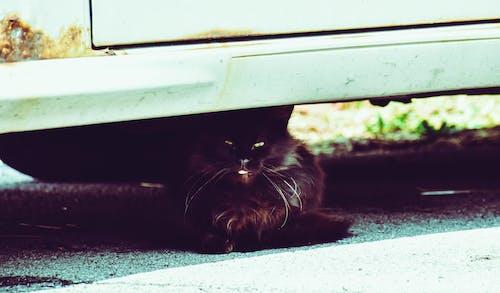 Photos gratuites de chat, fringant minou, voiture