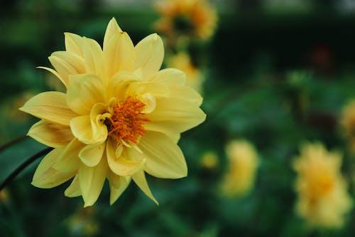 dahlia çiçeği, güzel çiçekler içeren Ücretsiz stok fotoğraf