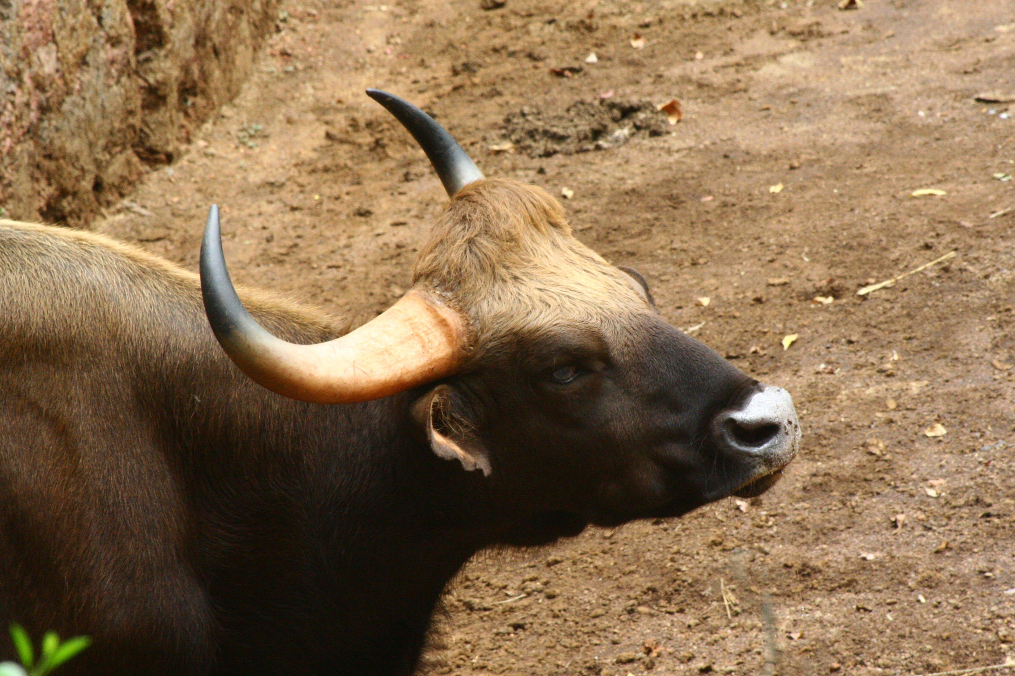 Free stock photo of animal, bison, brown, habitat