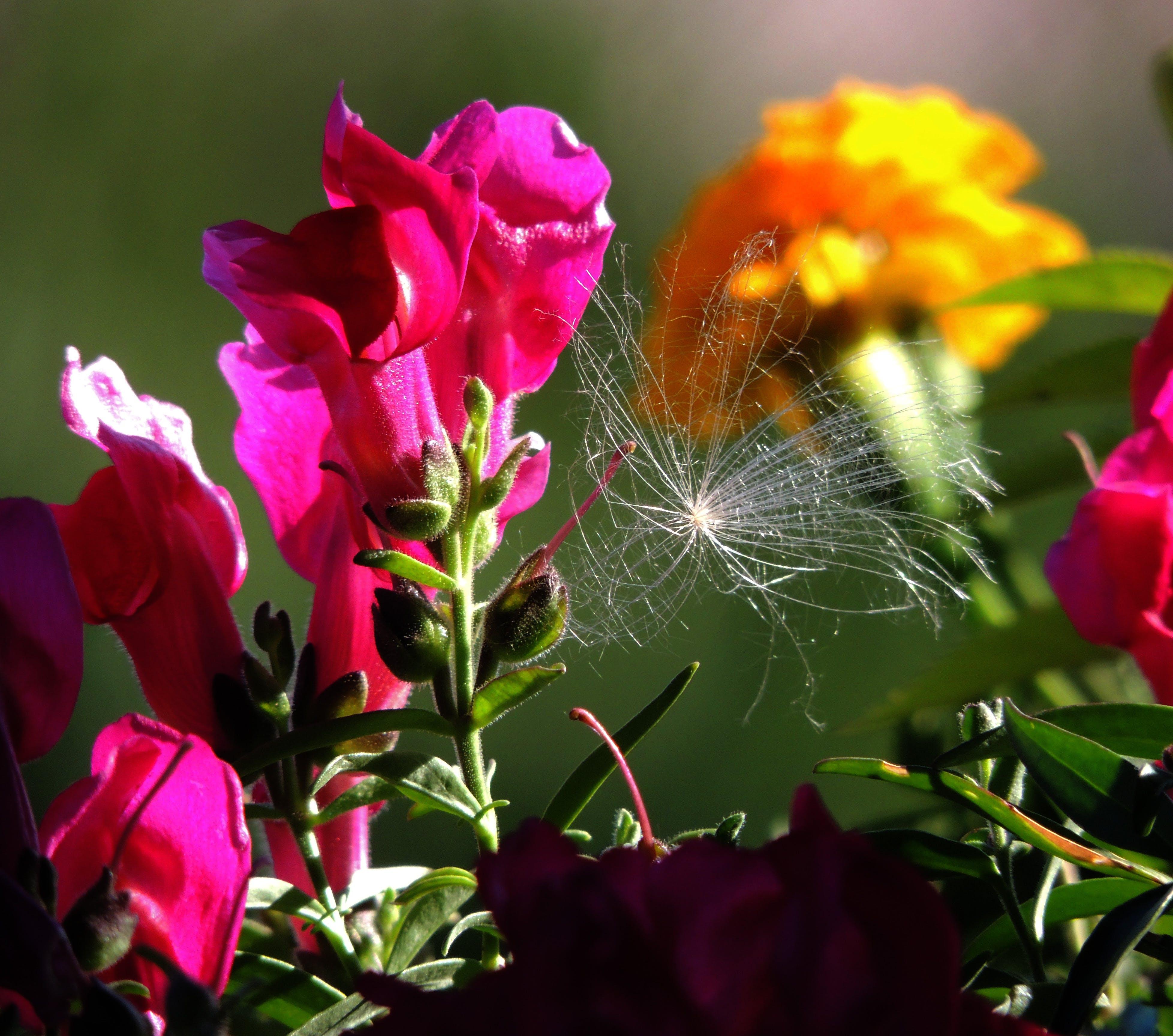 Free stock photo of dandelion, flowers, macro, red