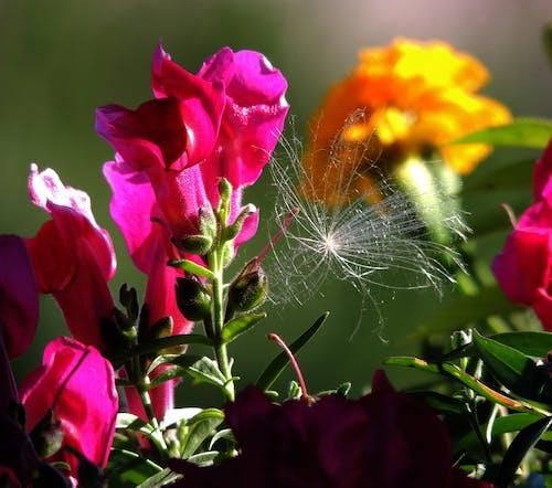 Ảnh lưu trữ miễn phí về bồ công anh, cá hồng, hoa, màu đỏ